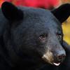 Closeup of a wild Black Bear Sow in Ontario, Canada.