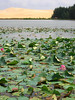 lotus flowers in a small lake near the white sand dunes, outside mui ne