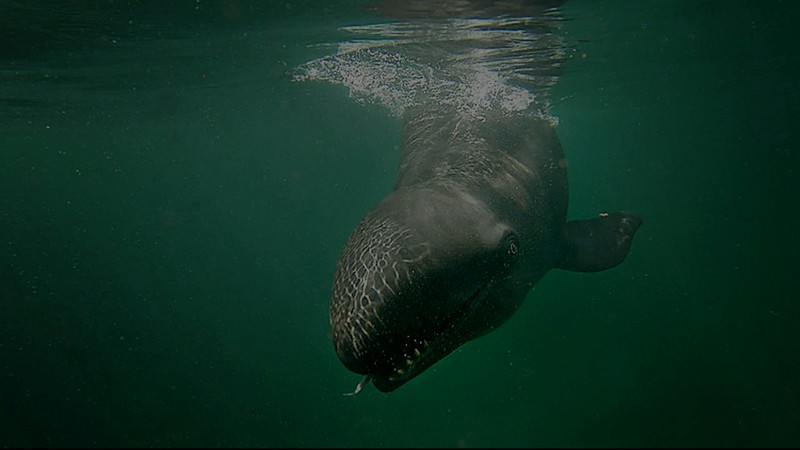 Kina,  The False Killer Whale