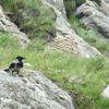 Hoodie crow