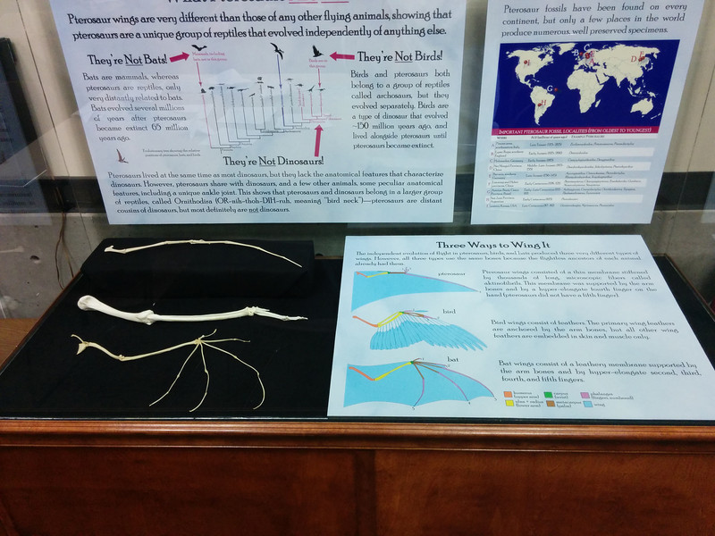 Updated display on vertebrate wings, including promised replicas of arm skeletons!
