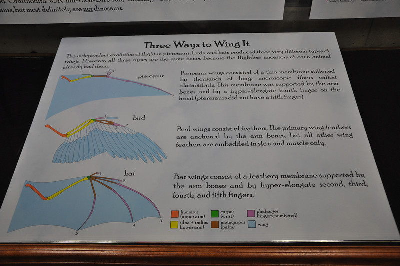 Temporary (place-holder) sign about convergent evolution of vertebrate wings—to be replaced with mounted replicas of arms of each type.