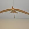 Mounted, life restoration of the pterosaur _Rhamphorhynchus_.