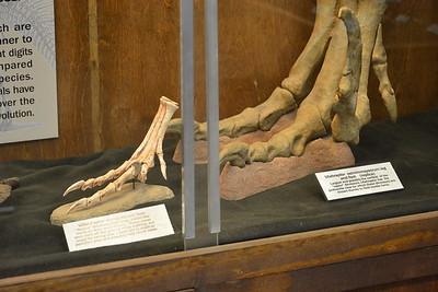 Utahraptor and Velociraptor feet