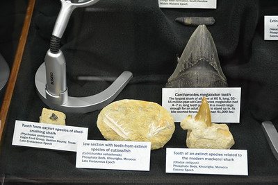 Carcharocles, Otodus, Eutrichurides, and Ptychodus teeth