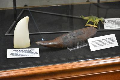 Tyrannosaurus and sperm whale teeth