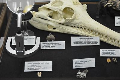 Deer and unidentified carnivore teeth