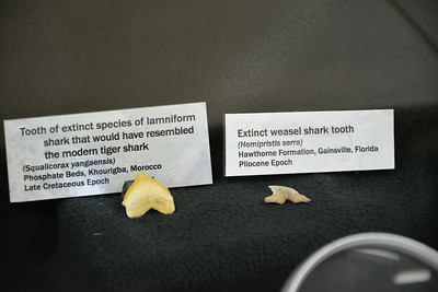 Squalicorax and Hemipristis teeth
