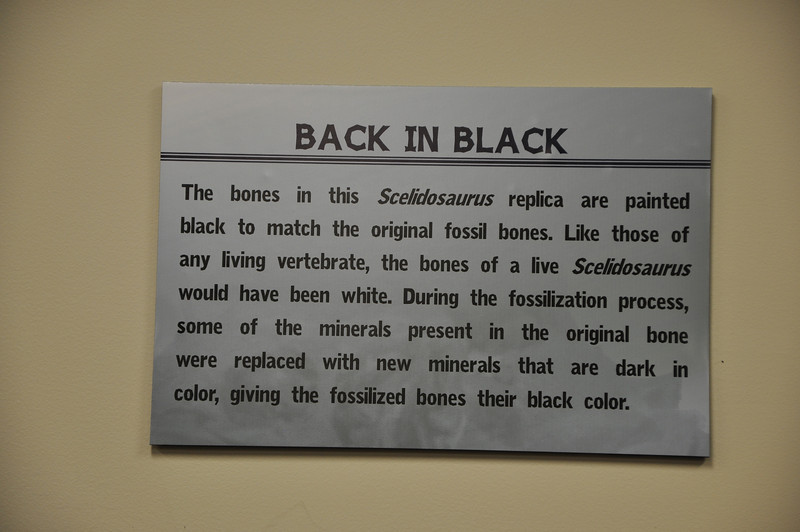 Why the bones in the _Scelidosaurus_ are not white.
