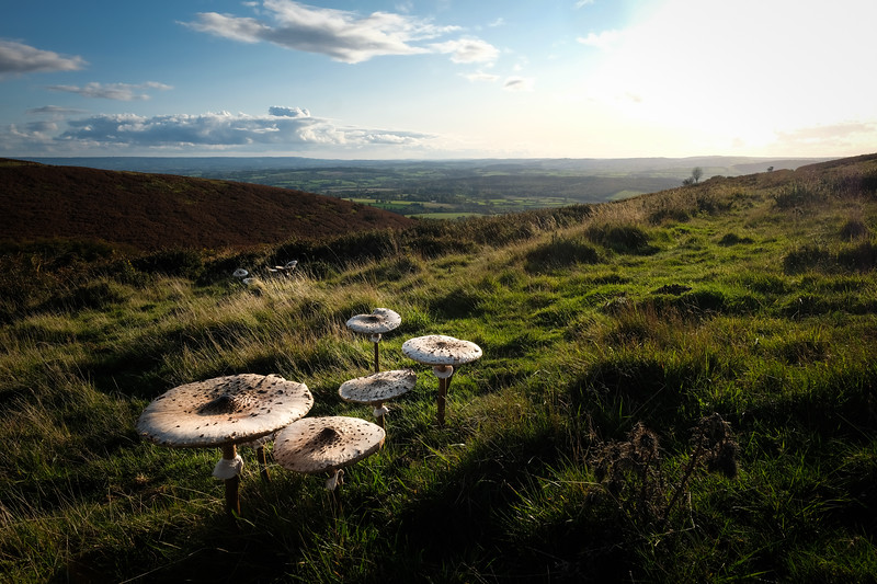 Parasol Mushrooms on the Quantocks
