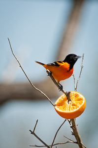 Unlike robins and many other fruit-eating birds, Baltimore Orioles seem to prefer only ripe, dark-colored fruit. Orioles seek out the darkest mulberries, the reddest cherries, and the deepest-purple grapes, and will ignore green grapes and yellow cherries even if they are ripe.Text credit: The Cornell Lab of Ornithology