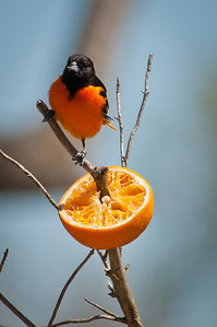 Baltimore Orioles got their name from their bold orange-and-black plumage: they sport the same colors as the heraldic crest of England's Baltimore family (who also gave their name to Maryland's largest city). Text credit: The Cornell Lab of Ornithology