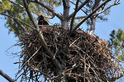 Young eagle in nest