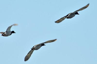 Duck flyover