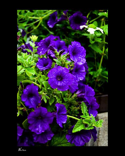 Day 030: Flowers Hanging Around<br /> Blue Petunias