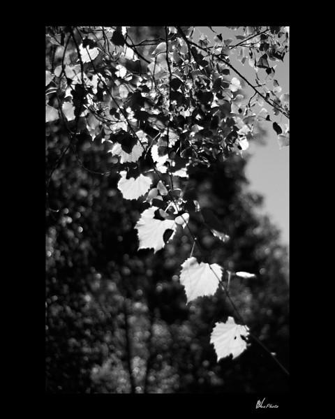 Day 061: Descending Leaves (Wild Grape Vine)