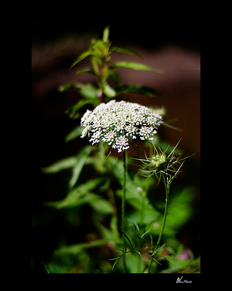 Day 062: Queen Ann's Lace