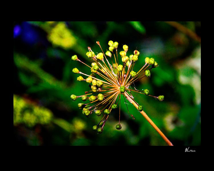 Day 050: Spike (Spiky seed pod of a Purple Allium)
