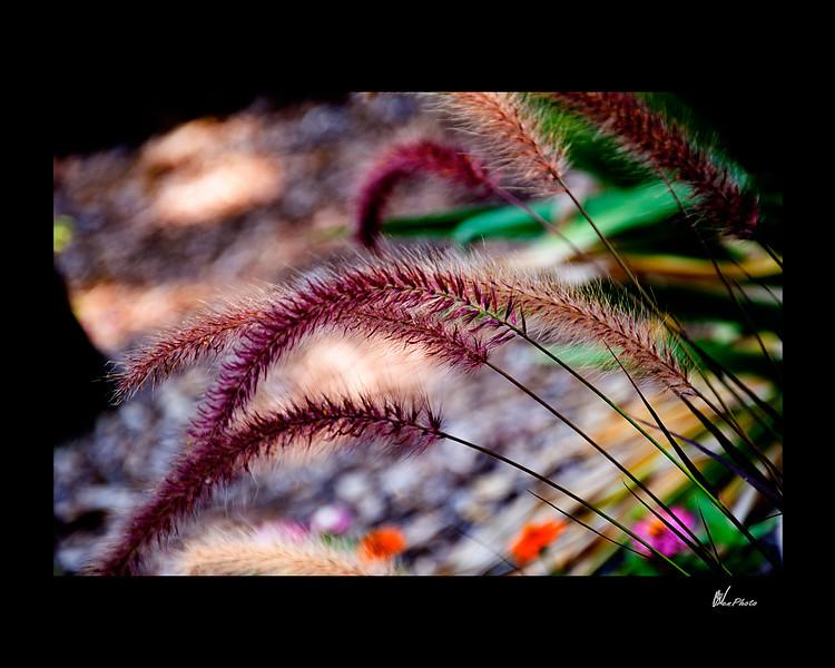 Day 043: Purple Grass (Foxtail Grass)