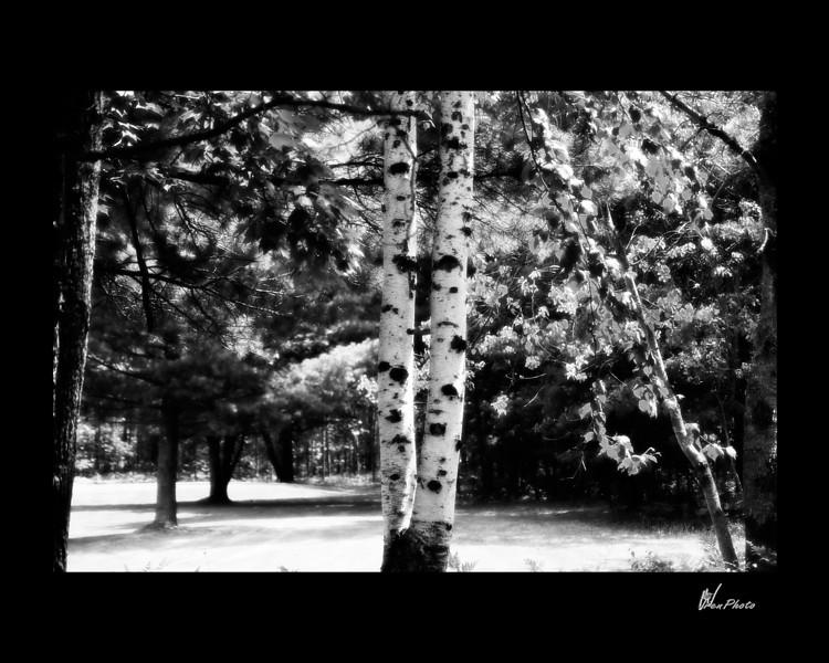 Day 022: Twin Birches