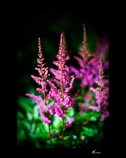 Day 058: Reaching to the Sky (Astillbe)