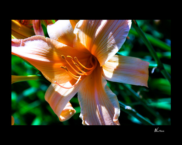 Day 065: Orange Lily (Day Lilly)