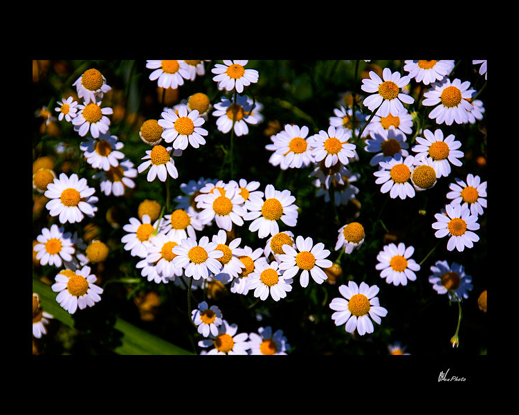 Day 069: Daisies!