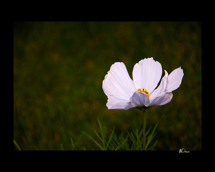 Day 049: Simple is Enough (White Cosmos)