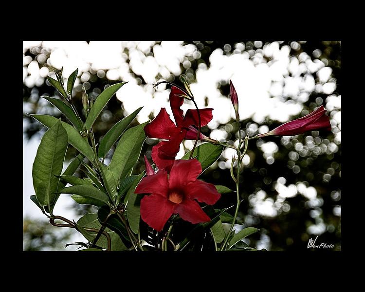 Day 18: Sunlight & Flowers<br /> Peruvian Vine