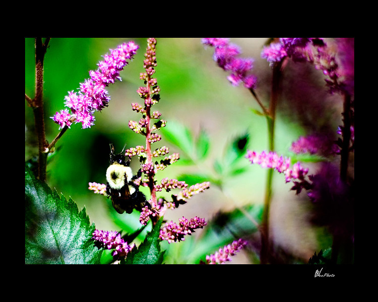 """Day 060: """"The Bees Know"""" (Astillbe)"""