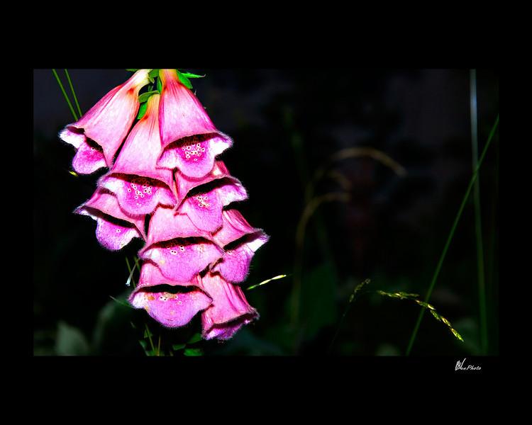 Day 051: Purple Bells (Pink Foxglove - Bellodonna)