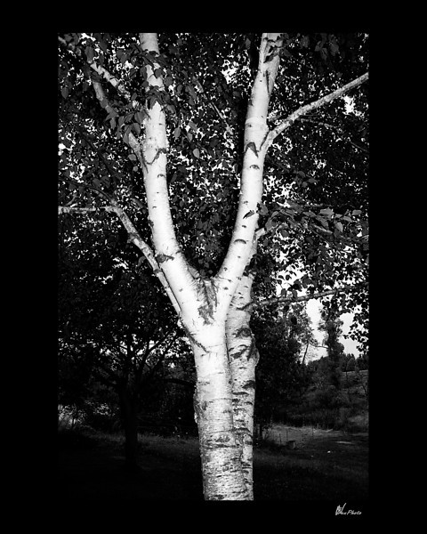 Day 078: White Birch