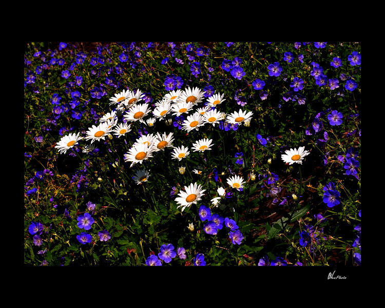 Day 080: Daisies Among Us (White Daisies in a bed of Lobelia)