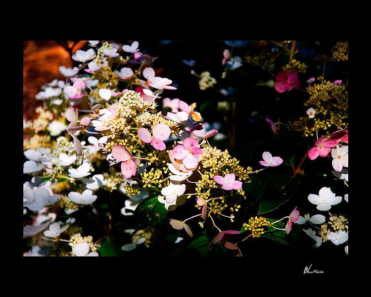 Day 044: Butterfly Flowers<br /> Mophead Hydrangeas