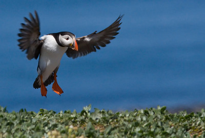PUFFIN, THE FARNE ISLANDS, UK