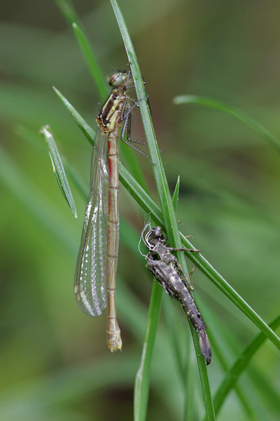 Large Red Damselfly (Pyrrhosoma nymphula) - vuurjuffer newly hatched