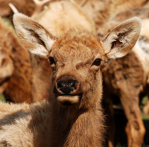 Baby elk at Dogwood Canyon in Missiouri.