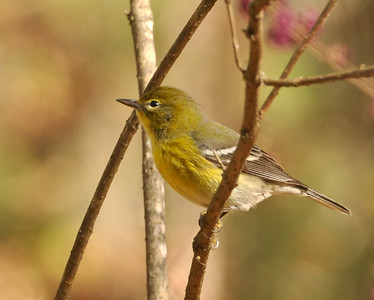 Hope everyone had a great Thanksgiving! We just had ours this weekend and I'm stuffed! It was great to have a few days off....sure hate to go back to work in the morning.  Took a walk in the woods today and came across this pine warbler. They are such cute little birds.