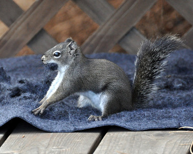 Busted ...  This little squirrel came to the cabin everyday to work this rug over! It must be getting that nest ready for the winter.