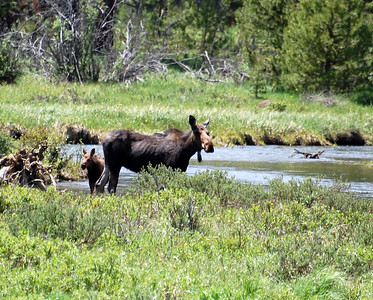 Mama and baby moose! I've only seen a couple of moose before and they were very far off...this time I got to see about 10 of them and some were pretty close.