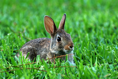 Just a cute baby bunny in the yard!