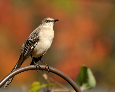 My crazy mockingbird striking a pose!