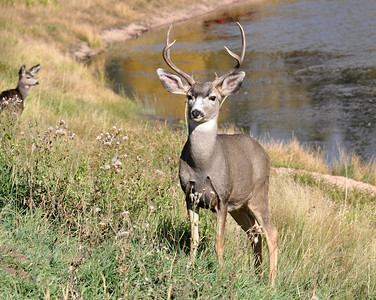 Another beautiful buck...but its nowhere near the size of the one I posted yesterday! Still a beauty though.