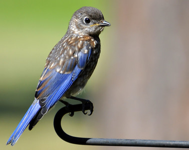 I was so excited to get this bluebird shot!! I rarely have them in my yard...but since its been so very hot and hardly any rain at all,they have started coming to my birdbath. There was actually three of them,but I could never get a shot of them all together.