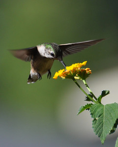 One more shot of the hummer!! I will hate to see them go....but next...I will have tons of goldfinch!!