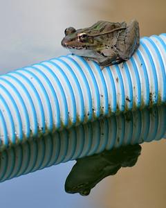 Frog Reflecting!