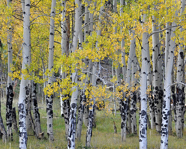 The aspens...I wish we would have got there at their best...but they were still beautiful!