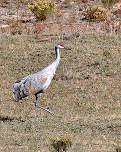 We were riding down the road out in the middle of nowhere...when we saw this sandhill crane strutting across a field. My first time ever seeing one...I was quite shocked!