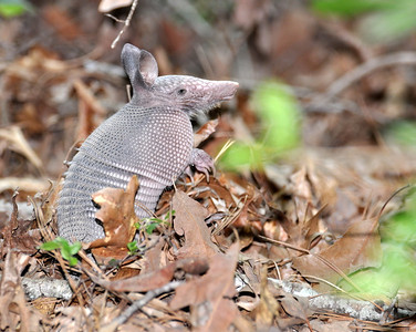 I came across 3 baby armadillos in the woods...first time that I've ever seen babies!! They were so cute. I had to lay on the ground to try and shoot through all the bushes...but I finally got one!