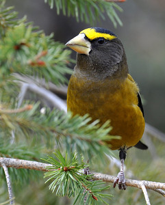 Evening(male) grosbeak...they are such beautiful birds!